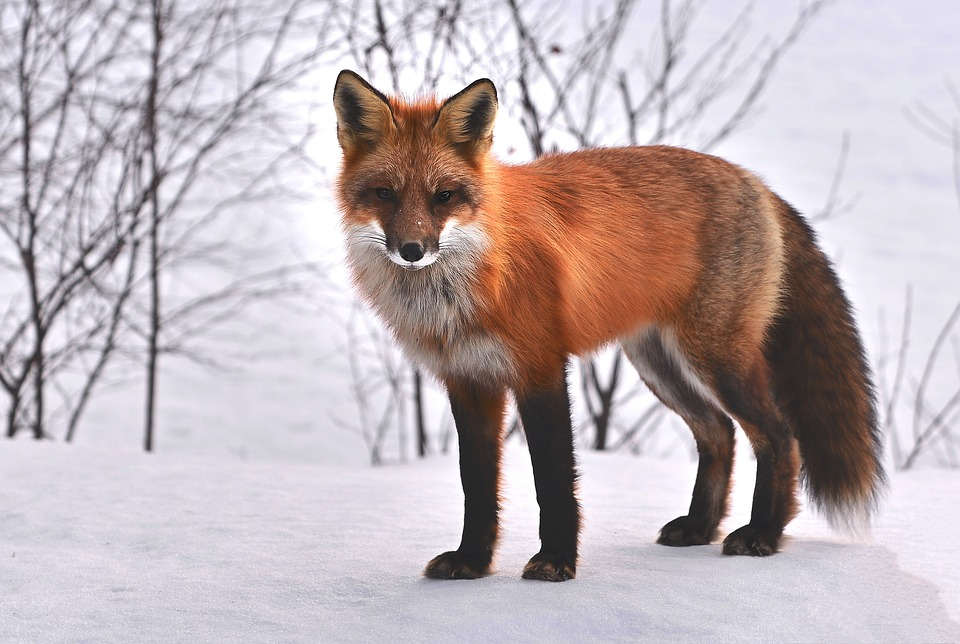 fox, natura, animali